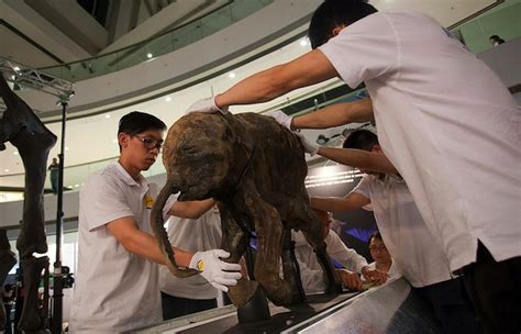 Rare Baby Mammoth Emerges from Permafrost Intact - Kids