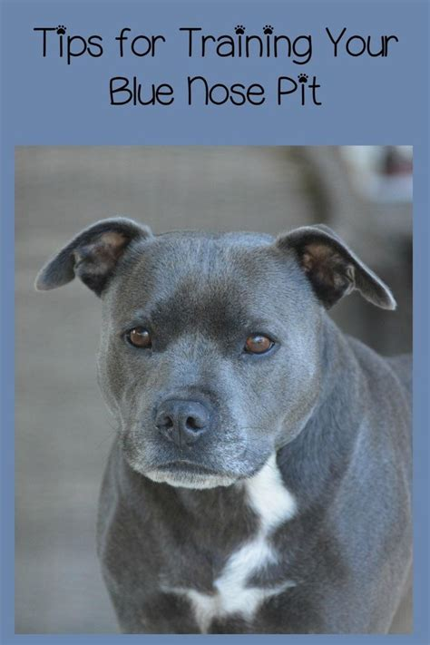 Pitbull Puppy Training Tips: The Blue Nose Pit | Puppy