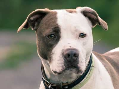 American Pit Bull Terrier - Information, Characteristics